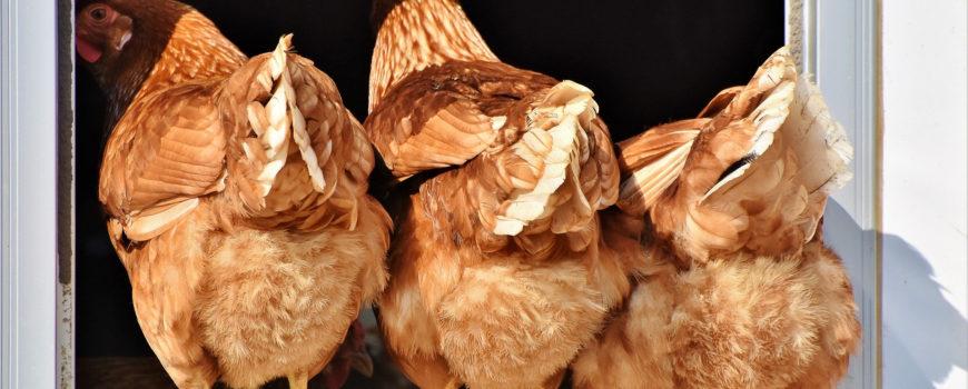 kippen_ophokken_2020_Josanne_van_der_Heijden